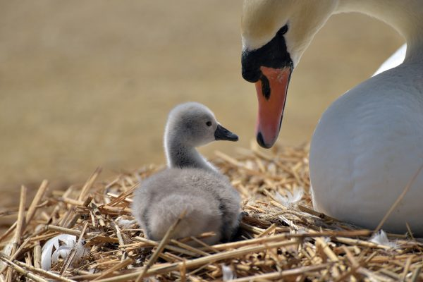 Abbotsbury Swannery - Things to do in Dorset