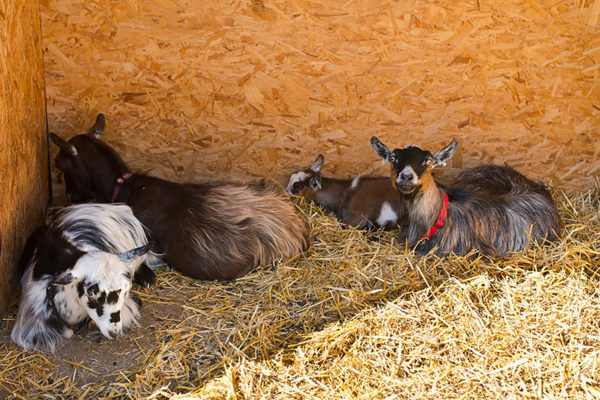 Abbotsbury Children's Farm - Family Friendly attractions in Dorset