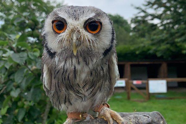 Owl at the Dorset Falconry Park