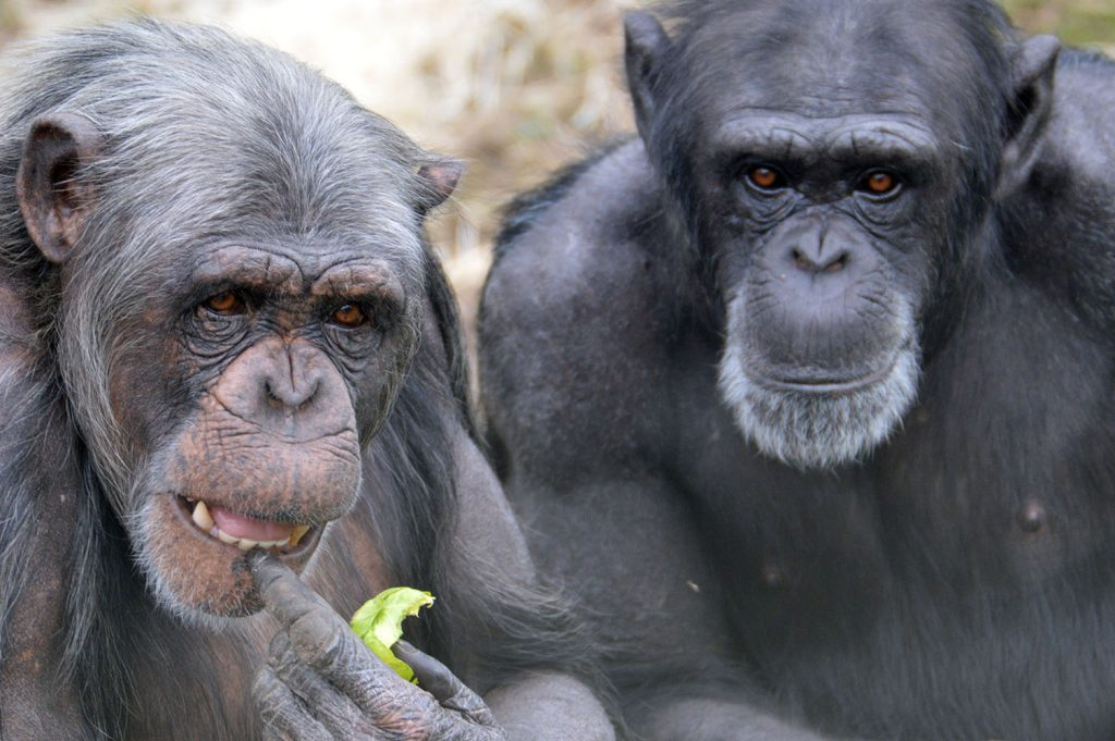 Chimpanzees at Monkey World Dorset.